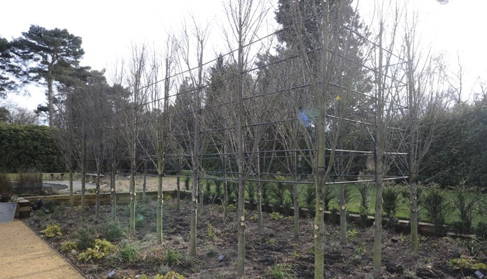 Hornbeam Pleach Tree Growing Frame Complete Winter
