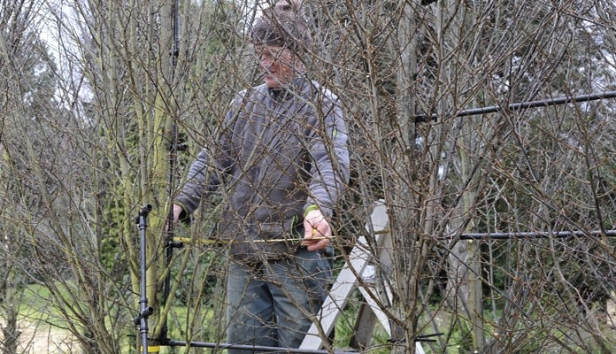 Measuring Distance Between Pleached Hornbeam Trees