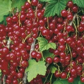 Blackcurrants & Redcurrants