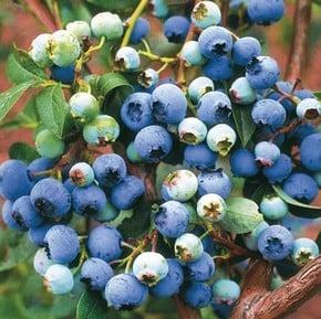 Blueberries & Cranberries