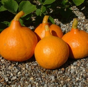 Courgette, Squash & Pumpkins