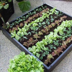Vegetable Plant Collections