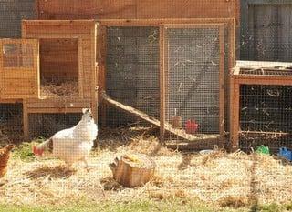 Chicken Cages