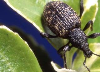 Nematode Pest Control