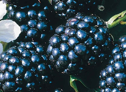 Blackberries & Hybrids