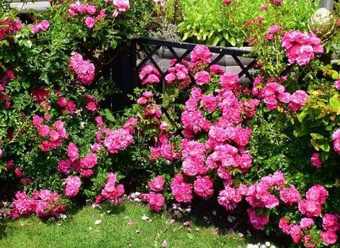 Peter Beales Roses & Clematis