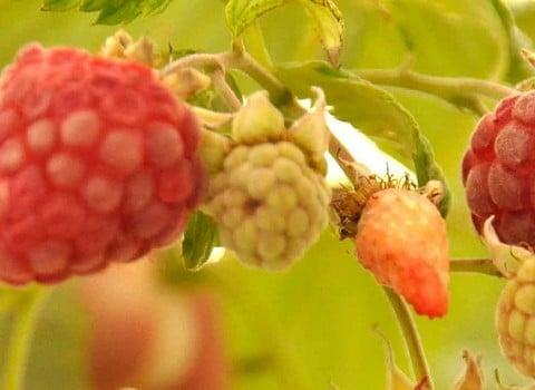 Raspberries & Gooseberries