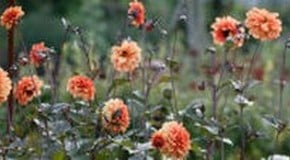 Best Plant Support for Dahlias