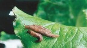 Diseases & Pests