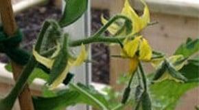 Feeding Tomato Plants
