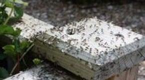 Flying Ants in the Kitchen Garden