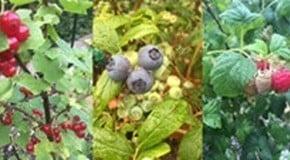 Fruit Picking week in the Kitchen Garden