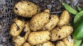 Harvesting first potatoes