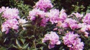 How to Grow Herbaceous Peonies