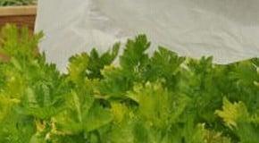 Kitchen Garden Blog - successes and failures in the vegetable garden