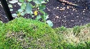 Kitchen Garden Blog - the dreaded box blight