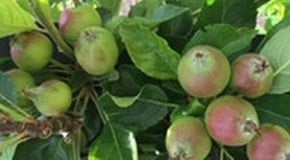 Our apple and pear trees are smothered in fruits