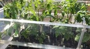 Tomato Plants, Nemaslug and Plant Supports