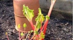 Weekly Kitchen Garden Blog - first Harvest of Rhubarb