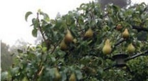 Weekly Kitchen Garden Blog - Harvesting Pears