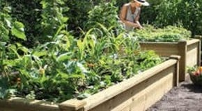 Weekly  Kitchen Garden Blog - Planting out Leeks