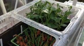 Weekly Kitchen Garden Blog - pricking out seedlings