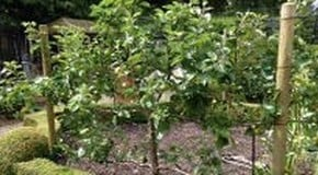 Weekly Kitchen Garden Blog - Pruning our trained fruit trees