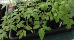 Weekly Kitchen Garden Blog - setting up irrigation system