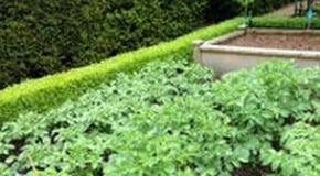 Weekly Kitchen Garden Blog - The big harvest is now well under way