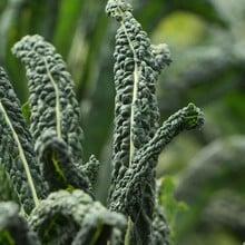 Autumn - Cavalo Nero - Nero di Toscana (10 Plants) Organic