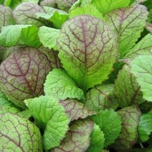 Autumn - Giant Red Mustard (10 Plants) Organic