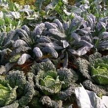 Autumn Large Vegetable Patch (310) Plants
