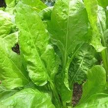 Autumn - Spinach Perpetual (10 Plants) Organic