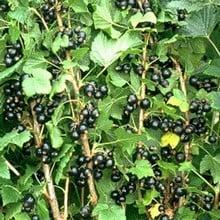 Blackcurrant Ben Gairn