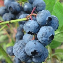 Blueberry Herbert