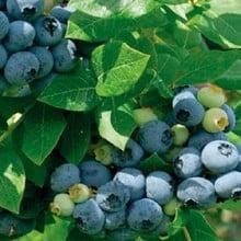 Blueberry Liberty