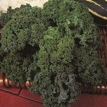 Borecole Green Curled Dwarf (10 plants) Organic