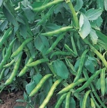 Broad Bean - Aquadulce Claudia (10 plants) Organic