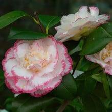 Camellia Japonica Margaret Davis