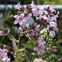 Campanula Lactiflora Loddon Anna - Milky Bellflower