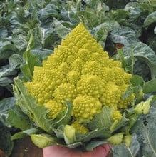 Cauliflower Romanesco Navona (10 plants) Organic