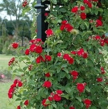 Chevy Chase Rambling Rose by Peter Beales