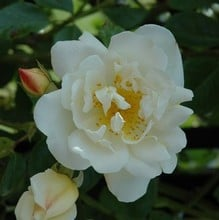 City Of York - Climbing Rose by Peter Beales