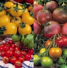 Colourful Tomato Collection (12 plants) Organic