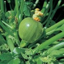 Courgette - Tondo Chiara di Nizza (5 plants) Organic