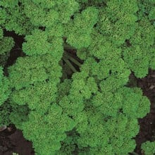 Curly Parsley (3 Plants) Organic