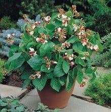 Dwarf Runner Beans Hestia (5 Plants) Organic