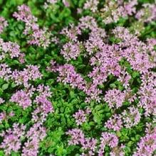 English Thyme (3 Plants) Organic
