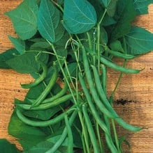 French Climbing Bean Blue Lake (10 Plants) Organic