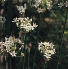 Garlic Chives (3 Plants) Organic